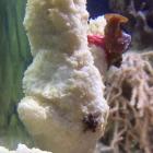 Seestern und Krustenanemonenableger