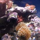 Kupferanemone im Riffaufbau