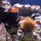Lederkoralle und Clownsfisch