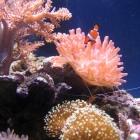 Kupferanemone und Clownsfisch
