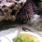 Schlagenseestern und Echinometra mathaei Seeigel