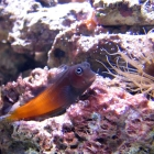 Ecsenius bicolor Schleimfisch