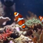 Clownsfische