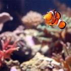 Clownsfisch