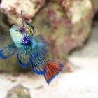 Mandarinfisch Männchen
