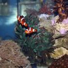 Condylactis gigantea und Clownsfische