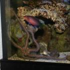 Schlangenseestern und Sechsstreifenlippi