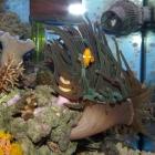 Condylactis gigantea und Clownsfisch