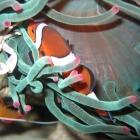 Clownsfisch und Anemonenkrabbe
