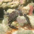 Chlorodiella nigra Krabbe