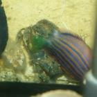 Monodi-Krabbe frisst Sechsstreifenlippfisch