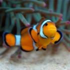 Clownsfischweibchen