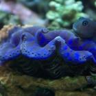 Tridacna Muschel und Bicolor-Schleimfisch