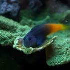 20090101_bicolor-schleimfisch