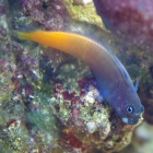 20090611_bicolor-schleimfisch