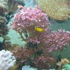 20090727_hystrix_mit_korallengrundeln_2
