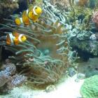 20090823_gigantea-anemone_mit_clownis