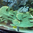 Grüne Montiporaplatte