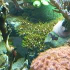 Kalkachsenkoralle (Briareum hamrum)