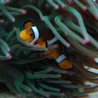 Anemone und Clownsfisch