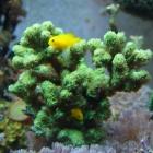 Hydnophora exesa und Korallengrundeln
