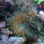 Anemone und Clownsfische