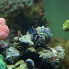 Blaubein-Einsiedlerkrebs (Clibanarius tricolor)
