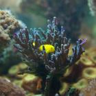 Acropora echinata mit Korallengrundel