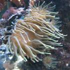 Gigantea-Anemone