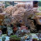 diverse Korallen, v.a. Gorgonien