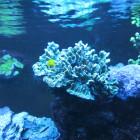 Pavona mit Korallengrundel