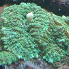 grüne fleischige Scheibenanemonen