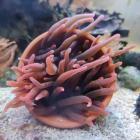 Quadricolor Anemone