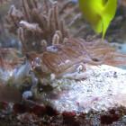 Zartgefiederte Straußkorallen (Anthelia sp.)