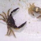 diverse Krabben