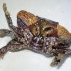 20081227_dannys-krabbe_3